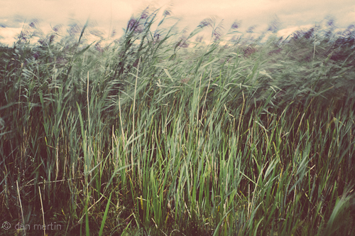 Wind blowing reeds